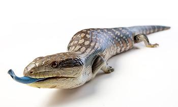 Eastern Blue-Tongued Skink