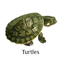 Turtles info
